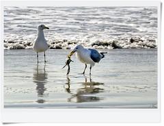 "Q: ""Why Are You So Fat ??""............................................  A: ""..Been Eatin'.."" :) (Alexxir) Tags: seagulls ocean crab eating tide beach sun sand brooklyn newyork streetphotography"