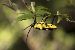 【臺灣黃帶天牛】 Thermistis taiwanensis Nara & Yu, 1992 (Sam's Photography Life) Tags: 臺灣黃帶天牛 臺灣黃帶 黃帶天牛 天牛 昆蟲 生態 自然 canon 1dx 5d4 5d markiv insect marco mraco nature 百微 微距