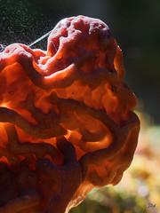 Macro Monday - Poisonous (Jan Whybourne) Tags: macromonday poisonous mushroom brain brown spores macro fungus wrinkled