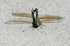 """""""The Dragon of New York"""" (Photography by Sharon Farrell) Tags: dragonfly greendragonfly monster beast flyingbeast greendarner greendarnerdragonfly commongreendarner largestdragonfly 3incheslong thedragonofnewyork anaxjunius"""