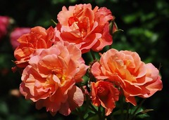 Roses oranges (mamietherese1) Tags: earthmarvels50earthfaves world100f phvalue