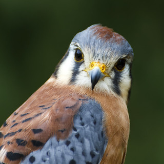 Kestrel Falcon Portrait (Pip)