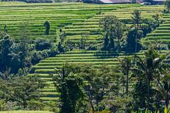 IMG_0597 (Ela&Piotr) Tags: bali indonesia indonezja jatiluwih ricefields
