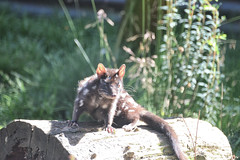 Another Eastern Quoll (zenseas) Tags: easternquoll dasyurusviverrinus devilsatthecradle australia tasmania sun sunny cute easternnativecat marsupial carnivorous carnivorousmarsupial dasyuridae dasyurid cradlemountain south southern southernhemisphere vacation holiday workingholiday workingvacation endangered sanctuary