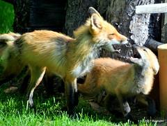 DSC_0784 (rachidH) Tags: fox renard vulpes foxcub renardeau redfox renardroux vulpesvulpes backyard frontyard wildlife sparta newjersey nj rachidh nature