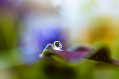 Tiny drop all alone (Maria Eklind) Tags: dripsdropsandsplashes makro closeup macro plants nature växter macromondays droplet drop outdoor color malmö skånelän sverige se colourful drip