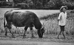 Walking with buffalo - Xingping Guangxi 1993 (Bruce in Beijing) Tags: guangxi yangshuo xingping farming buffalo farmer 1993