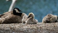 Baby Geese (Jacques P Raymond) Tags: babygeese gosling canadagoose calgary inglewoor
