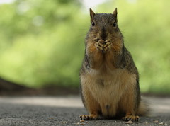 Squirrel, Morton Arboretum. 404 (EOS) (Mega-Magpie) Tags: canon eos 60d outdoors squirrel wildlife nature cute hungry the morton arboretum lisle il dupage illinois usa america