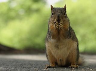 Squirrel, Morton Arboretum. 404 (EOS)