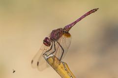 Feeding time (jrosvic) Tags: dragonfly libelula trithemisannulata libellulidae violetdropwing violetmarkeddarter purpleblusheddarter plumcoloureddropwing odonata anisoptera nikond7100 nikon60mm28dmicro kenkopro300x14 laazohia cartagena murcia spain freehand
