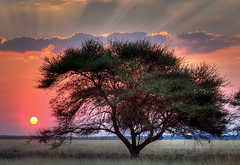 Sunset over the Kalahari, Central Kalahari Game Reserve, Botswan (klauslang99) Tags: acacia african beauty black botswana brown bushes centralkalaharigamereserve clouds colorful colour colourful dramatic evening fevertree grass green landscape orange panorama pink plains purple safari sandy savanna savannah scenery scenic scrub silhouette silhouetted sky skyscape soil sunset thorn time tree trees klauslang