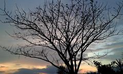 Delicadeza al atardecer/ Subtlety at the sunset (vantcj1) Tags: silueta atardecer nubes caminata rural naturaleza ramas vegetación