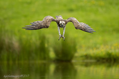 EJ in the dive (Ross Forsyth - tigerfastimagery) Tags: fishingosprey osprey tallons wings feathers scotland wildlife nature free wild birdofprey bop highlands aviemore cairngorms ej boatofgarten femaleosprey rspb diving reflections mirror