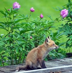 DSC_0724 (rachidH) Tags: fox renard vulpes foxcub renardeau redfox renardroux vulpesvulpes backyard frontyard wildlife sparta newjersey nj rachidh nature