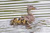 _53F9162 Mallard Ducks (~ Michaela Sagatova ~) Tags: birdphotography canonphotography duck ducklings mallard michaelasagatova