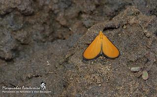 Mariposa - Eudulophasia invaria (Geometridae Larentiinae Eudulini)