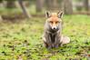 Red fox (Hotcoffee68) Tags: fox sony a55 tamron nature naturephotography spain extremadura travel bokeh animals