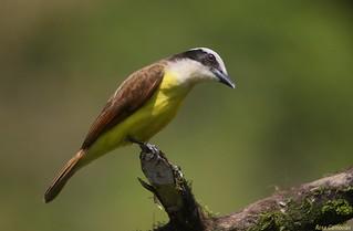 Bienteveo Común | Great Kiskadee (Pitangus sulphuratus)