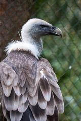 (Benjamin Vasterling) Tags: vogelparkwalsrode vogel bird federn feathers geier vulture