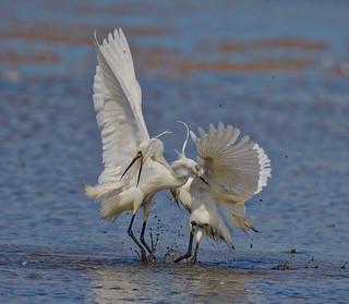 Little Egret (2 of 3)