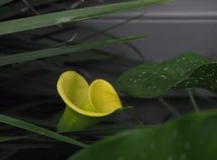 061818fsj-03 (djfnola) Tags: davidfischer olympus em10 fsj faubourgstjohn neworleans la louisiana lateday yellow blossom desotost