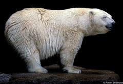 Sleep Standing (Robert Streithorst) Tags: cincinnatizoo polarbear robertstreithorst zoosofnorthamerica