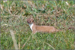 Weasel (Full Moon Images) Tags: wicken fen nt national trust wildlife nature reserve cambridgeshire animal mammal weasel