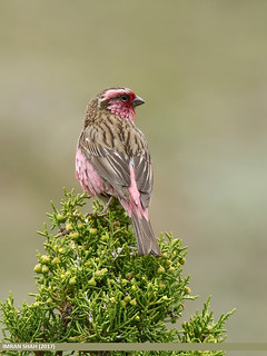 Himalayan White-browed Rosefinch (Carpodacus thura)