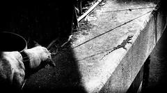 . (Julien Cha.) Tags: streetphotography straydog dog blackandwhite bangkok blackandwhitephotography bw gecko filmnoir shadow klongtoey krungthep streetphoto streetofthailand streetphotgraphy