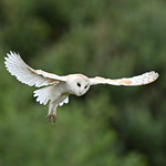 Barn Owl 'Tyto alba' in Flight thumbnail