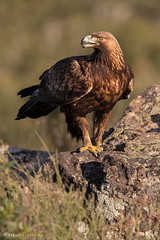 ÁGUILA REAL (Carlos Cifuentes) Tags: águilareal aguiareal goldeneagle aquilachrysaetos wildlife carloscifuentes nature