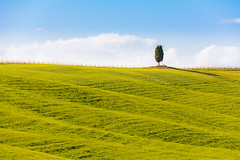 Tuscan Cypress (San Quirico d'Orcia ) (andrebatz) Tags: cypress san quirico dorcia tuscany hill tree sunset light landscape outdoor postcard beautiful famous farmhouse nature countryside minimalism garden farm