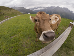 GOPR0966 (michael40001) Tags: sölden tirol österreich gopro goprohero5black at kuh cow gaislachkogel alpen alps austria eperke