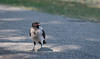 Cornacchia Grigia // Corvus Cornix (Christian Papagni | Photography) Tags: segrate lombardia italia it cornacchia grigia corvus cornix canon eos 7d mark ii ef100mm f28l macro is usm laghetto milano due