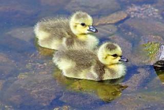 Canada Geese Goslings 17-0430-4047