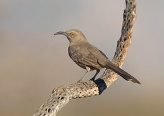 Curve-billed Thrasher Elephant head pond az (mandokid1) Tags: canon canon500f4 1dx birds arizona