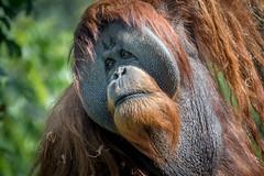 Cheeky Fellow (helenehoffman) Tags: greatape wildlife conservationstatuscriticallyendangered primate nature satu orangutan indonesia pongoabelii sandiegozoo sumatra mammal animal