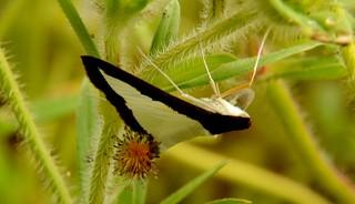 Diaphania hyalinata female