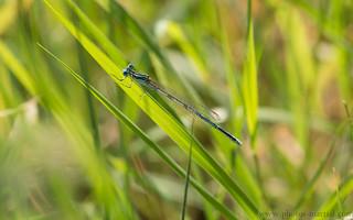 Lestes - (lestidae)