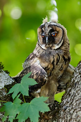 Hibou moyen-duc (juvénile) (sfrancois73) Tags: oiseau faune hiboumoyenduc