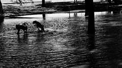 JUEGOS EN EL AGUA (ameliapardo) Tags: lago agua perros blancoynegro reflejos fujixt1 sevilla andalucia españa
