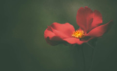 A bloom for Berle... (MontanaRoots (aka Craig)) Tags: zeiss canon markiv 135mm flower bloom nostalgic vintage red nature spring abigfave