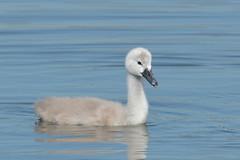 Mute Swan cygnet (Hammerchewer) Tags: muteswan cygnet bird waterfowl wildlife outdoor