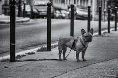 Waiting. (sdupimages) Tags: bw nb noirblanc blackwhite rue street montmartre paris animal chien dog