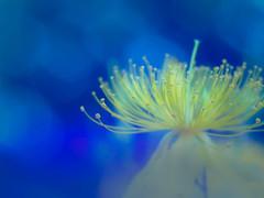 Hypericum monogynum (Tomo M) Tags: stamen pistil flower yellow blue bokeh light tokyo pentacon50mmf18 outdoor nature plant ビヨウヤナギ closeup macro