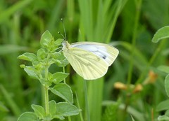 Green-veined White butterfly (Steeple Ducks) Tags: butterfly butterflies wiltshire upton scudamore a350 bank embankment verge road