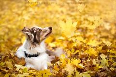 Falling (adventuredogphoto) Tags: australianshepherd aussie dog redmerle leaves fall foliage yellow nature canine dogphotographer massachusetts newengland pet adventuredogphotography beyondthefence blueamrich
