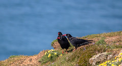Chough committee meeting on Skomer (parcman) Tags: birds chough