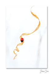 La descente infernale ... (jeremie.brion) Tags: nature macro proxy coccinelle ladybug